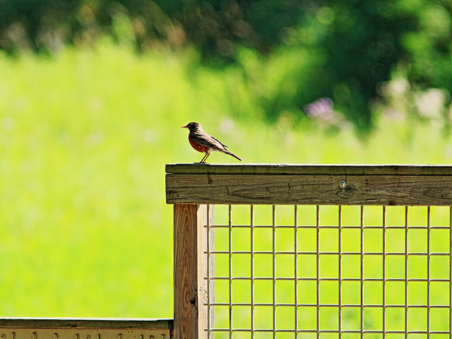 American Robin on fence 20150715