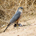 Small photo of Sharp-shinned Hawk (Accipiter striatus)