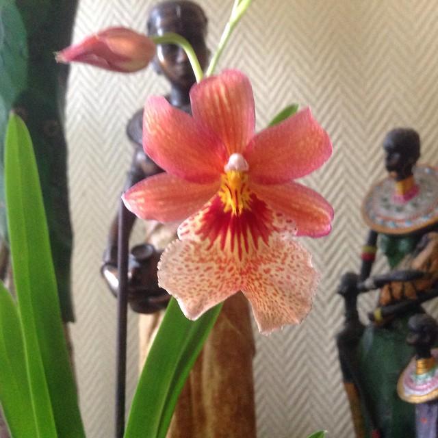 Floraison des orchidées de juin à........... 19774434076_de57c6f686_z