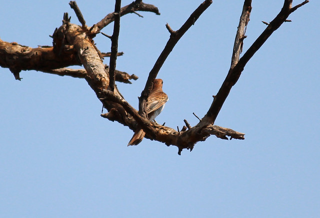 Indian Plaintive Cuckoo Female2