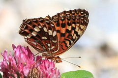 Fritillary on Clover