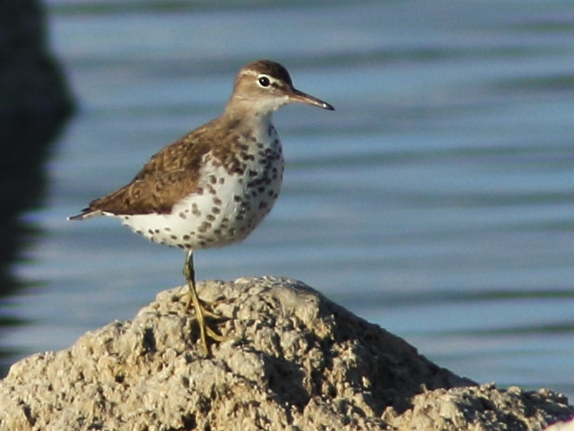 Spotted Sandpiper 20150815