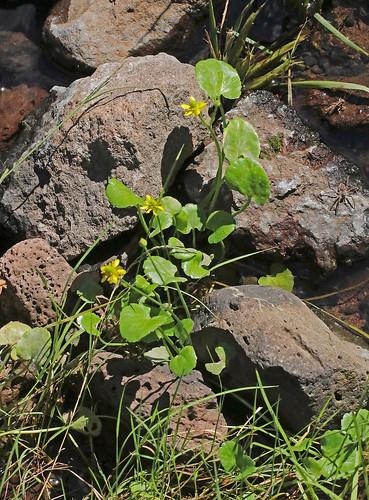 2016 alkalibuttercup buttercup catronco magnoliopsida mangusmountain nm ranunculaceae ranunculales ranunculus ranunculuscymbalaria spikecanyon wildflower flower seasidebuttercup