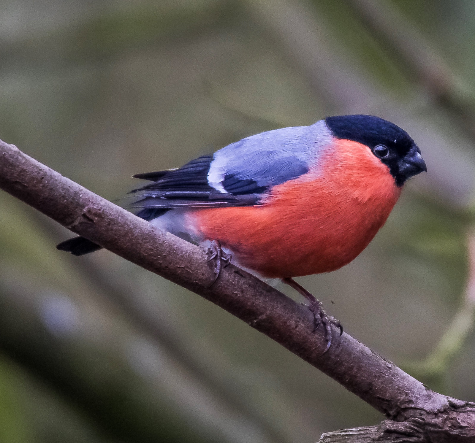 Bullfinch. Credit Michael Sveikutis