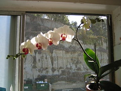 Phalenopsis   day