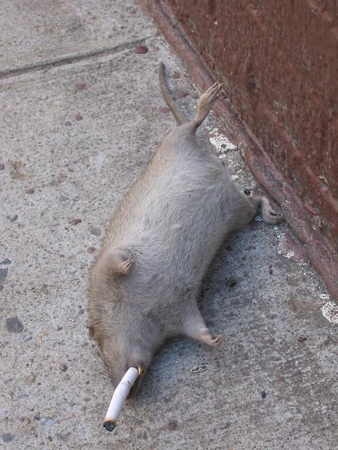 6th Avenue Rat Flickr Photo Sharing