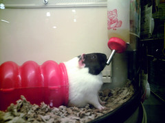 animal, guinea pig, rat, pet, mammal, hamster,