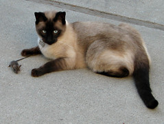 animal, siamese, small to medium-sized cats, pet, european shorthair, snowshoe, thai, tonkinese, cat, burmese, carnivoran, whiskers, balinese, domestic short-haired cat,