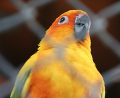 finch(0.0), lorikeet(0.0), animal(1.0), lovebird(1.0), macaw(1.0), parrot(1.0), yellow(1.0), pet(1.0), fauna(1.0), parakeet(1.0), close-up(1.0), common pet parakeet(1.0), beak(1.0), bird(1.0),