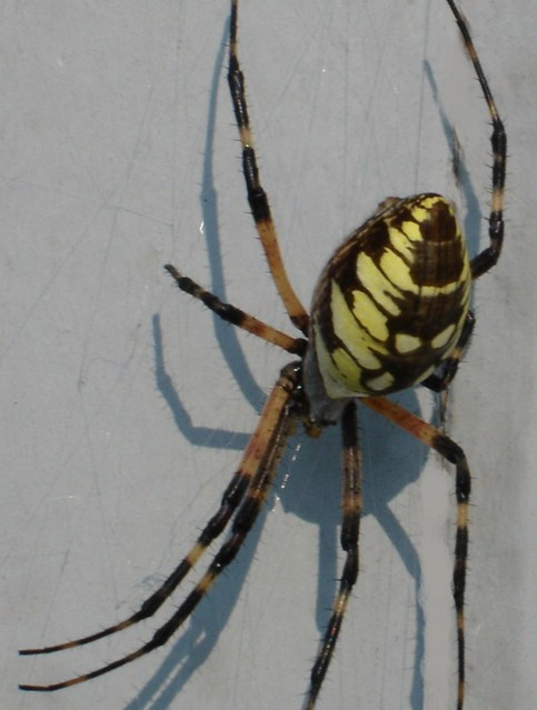 Banana Spider This Was The Biggest Spider I Had Ever Come Flickr Photo Sharing