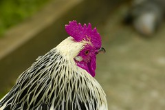 flower(0.0), wing(0.0), animal(1.0), chicken(1.0), rooster(1.0), poultry(1.0), fauna(1.0), close-up(1.0), comb(1.0), fowl(1.0), beak(1.0), bird(1.0), galliformes(1.0),