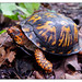 Eastern Box Turtle - Photo (c) ANDREA JANDA, some rights reserved (CC BY-NC-ND)
