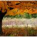 orange-tree06 by swardraws
