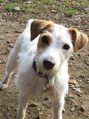 danish swedish farmdog(0.0), english foxhound(0.0), american foxhound(0.0), street dog(0.0), wire hair fox terrier(0.0), miniature fox terrier(0.0), fox terrier(0.0), dog breed(1.0), animal(1.0), dog(1.0), pet(1.0), mammal(1.0), smooth fox terrier(1.0), parson russell terrier(1.0), russell terrier(1.0), jack russell terrier(1.0), terrier(1.0),
