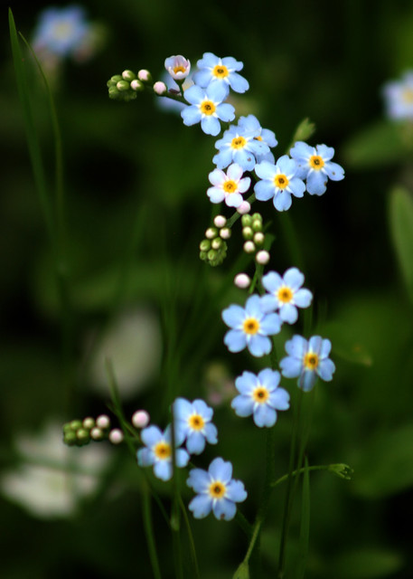 06 17 03 Alpine Forget Me Nots Flickr Photo Sharing