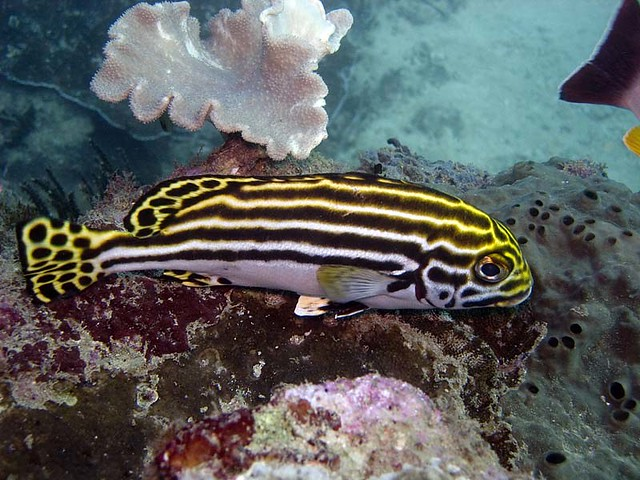Oriental sweetlips immature 84 flickr photo sharing for Sweet lips fish