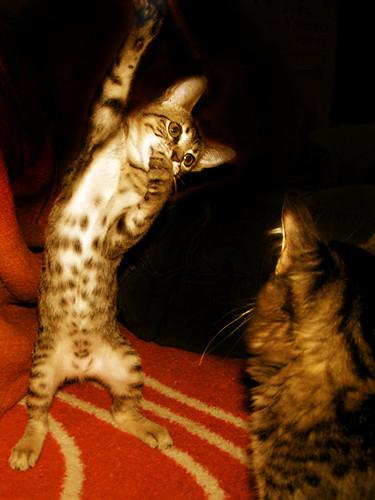 Cat performer by fofurasfelinas