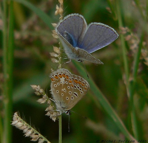 Argus bleu / Common blue