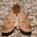 Noctuidae VIII - 10218 - 10469