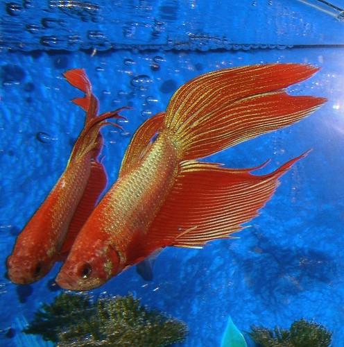 Where do betta fish poop from for Betta fish behavior