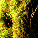 Small photo of Hairy Moss Closeup
