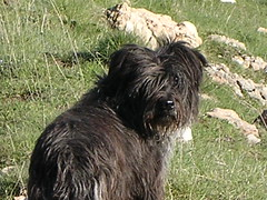 schnoodle(0.0), pumi(0.0), lagotto romagnolo(0.0), polish lowland sheepdog(0.0), glen of imaal terrier(0.0), bouvier des flandres(0.0), dandie dinmont terrier(0.0), bergamasco shepherd(0.0), bearded collie(0.0), terrier(0.0), dog breed(1.0), animal(1.0), dog(1.0), pet(1.0), lã¶wchen(1.0), tibetan terrier(1.0), vulnerable native breeds(1.0), schapendoes(1.0), havanese(1.0), catalan sheepdog(1.0), cã£o da serra de aires(1.0), affenpinscher(1.0), carnivoran(1.0),