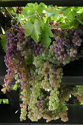 Grapes on the vine explore lightmatter 39 s photos on - Grey gardens dive per sempre ...