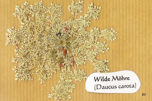 Wilde Möhre Daucus carota Mannheim Natur Kurpfalz Pflanze Wildpflanze blühen Blüte Foto Brigitte Stolle