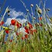 looking up to poppies by Edinburgh Nette
