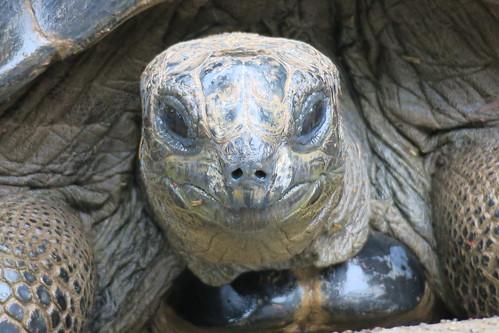 Geochelone sulcata tortoise