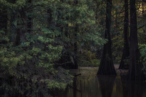 louisiana batonrouge swamp cypresstrees frenchtownroadconservationarea