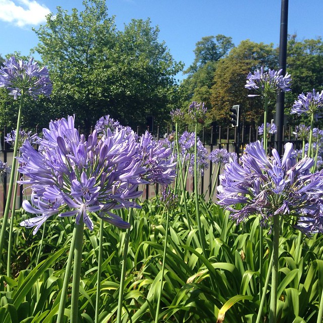 Agapanthus: reminding me of the Scillies today #blue #morningwalk #SE23love