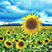 Sunflower Field really was a gas... by JLC Photography Spokane,WA