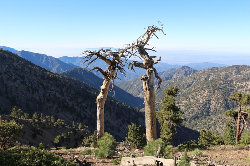 Two dead trees on the PCT between Mount Burnham and Mount Baden-Powell. They reminded me of an old married couple.
