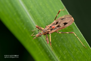 Assassin bug (Reduviidae) - DSC_2464