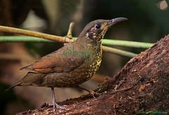 นกเดินดงเล็กปากยาว / Dark-sided Thrush / Zoothera marginata