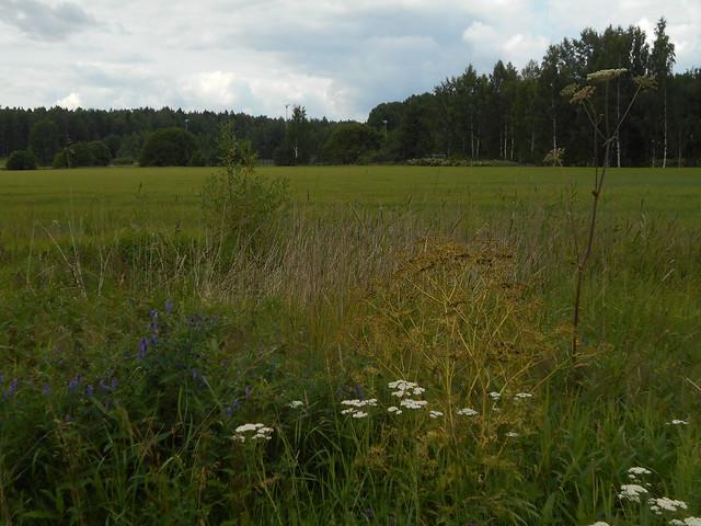Niittykasveja 20.7.2015 C Espoon Karakallion ja Leppävaaran välinen peltoalue