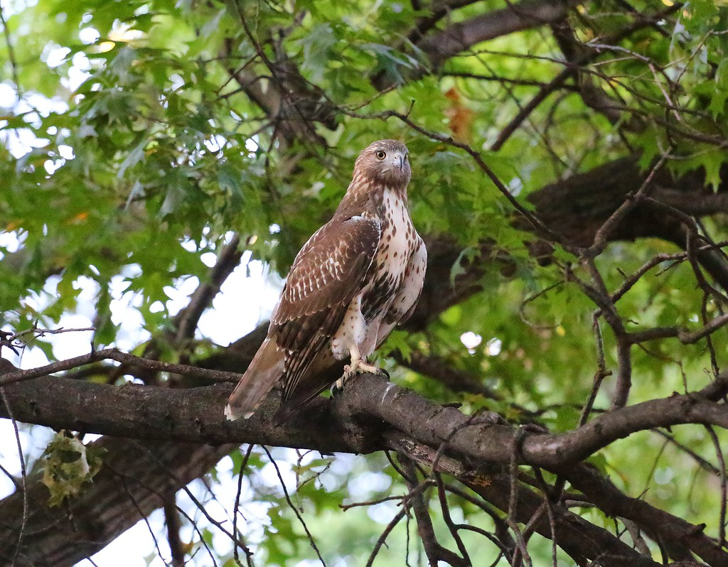 Fledgling on the prowl in Tompkins Square