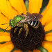 Small photo of Agapostemon Sweat Bee