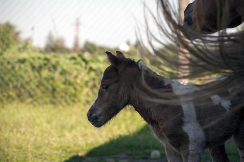 horse pony colt foal