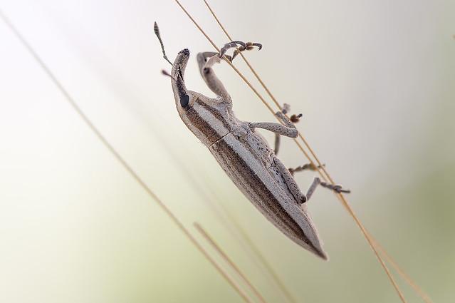 Ordine:Coleoptera  famiglia:Curculionidae