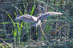 Black-crowned Night Heron, juvenile (Nycticorax nycticorax)