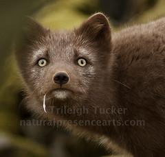 Arctic Fox, Blue Phase