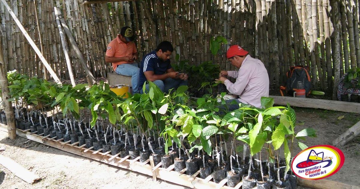 Asociación Manta Blanca ll inició proceso de injertación de cacao