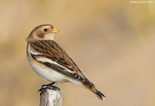 Snow Bunting - Eyes in the back of my head
