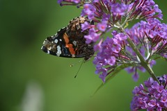 Butterfly on butterfly bush July