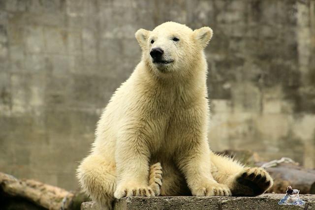 Eisbär Fiete im Zoo Rostock 12.07.2015 0155