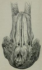 「兩角鯨」的頭骨。圖片取自Clark, J. W.(1871)