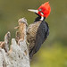 Male  crimson-crested woodpecker by Christian Sanchez Photography