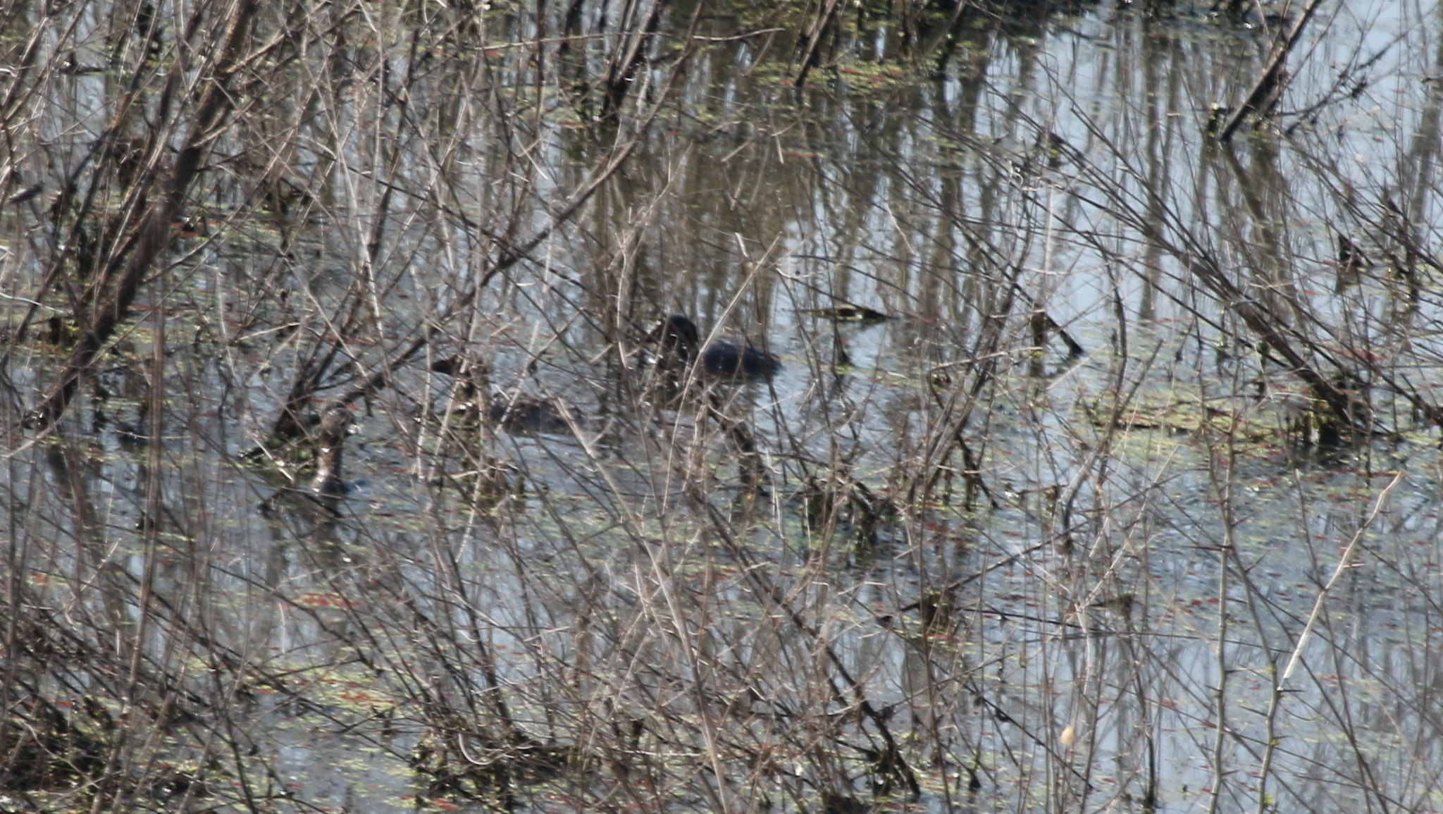 Pied-Billed Grebe - Clyde's Pond - 07-25-2015